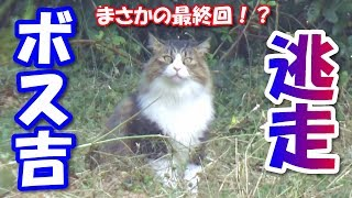 Download ボス猫、ハーネスを脱ぎ捨て逃走する! Boss cat, gets off the harness and escape! Video