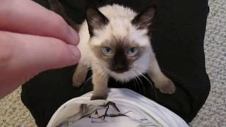 Download Siamese / Ragdoll Kitten Purring Video