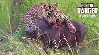 Download AMAZING! Leopard, Hyena & Warthog: An Unlikely Outcome (Rare Sighting) Video