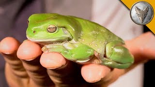 Download My BIG FAT Green Tree Frog! Video