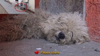 Download After living on the streets, this poodle was transformed by the love of a little boy. Video