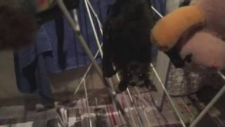 Download Baby bats play on the airer: Pretzel and Megabytie Video