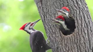 Download Pileated Woodpecker Chicks At the Nest Video