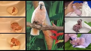 Download Moluccan Cockatoo baby Hatching Video