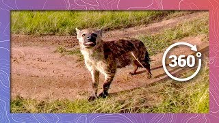 Download Spotted Hyena Investigates Camera | Wildlife in 360 VR Video
