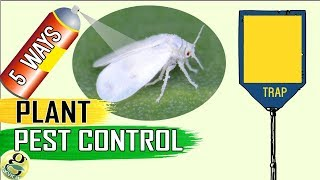 Download PEST CONTROL: 5 Easy Ways to Control Aphids Whiteflies Mealybugs Spider mites Video