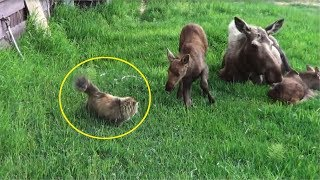 Download This Cat Was Stalking A Family Of Moose When An Unexpected Showdown She Wasn't Ready For Took Place Video