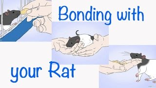 Download How to Bond with your Pet Rat Video