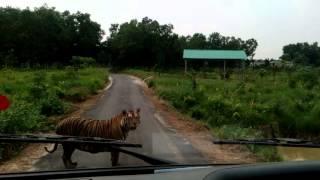 Download Tiger @ Safari Park, Gazipur Video