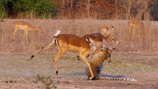 Download Impala Miraculously Escapes Jaws Of Leopard - The Hunt - BBC Earth Video