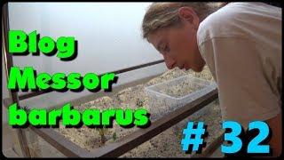 Download Blog Messor barbarus #32 - Les foreuses Video