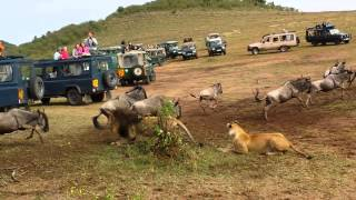 Download Lion ambush at wildebeest crossing Video