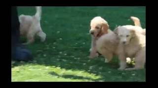 Download Miniature Labradoodle Puppies For Sale Video