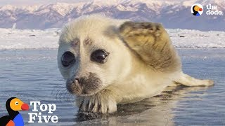 Download Seal Pup Waves To Photographer + Other Amazing Animal Encounters | The Dodo Top 5 Video