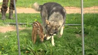 Download Hunter adopts 2 Fawns Video