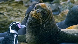Download Humboldt Penguins Fight Off Fur Seals | BBC Earth Video