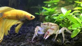 Download Betta Meeting New Freshwater crab Video