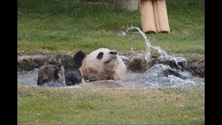 Download 【水浴びタイム♪】まったり海浜❤ばしゃばしゃ陽浜☆【兄妹パンダ♪】Giant Panda -Kaihin&Youhin -☆Bath Time♪ Video
