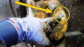 Download WHY is this ROCK STUCK in a COWS HOOF!?| The Hoof GP Video