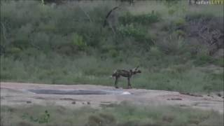 Download Safari Live : James with a lone Wild Dog who has an Impala trapped in the water March 13, 2017 Video
