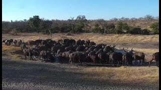Download Djuma: Buffalo herd comes to pan-Pt:1 - 15:53 - 07/22/19 Video