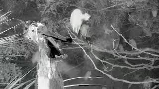 Download Alligator Swamp and Spoonbills Cam 08-28-2018 17:29:06 - 18:29:07 Video