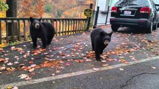 Download Bear encounter in Gatlinburg TN 11/7/2015 Video