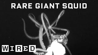 Download Scientist Explains How She Captured Rare Giant Squid Footage | WIRED Video