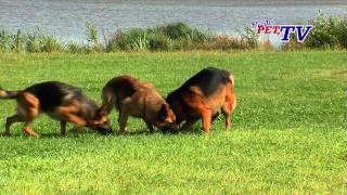 Download Deutscher Schäferhund: Informationen zur Rasse Video