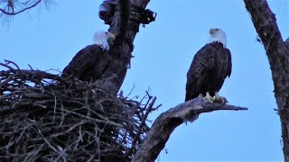 Download SWFL Eagles Stick/Grass Gathering Skills & Showing Presence To The 'Neighbors' 10-28-17 Video