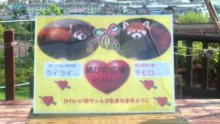 Download 東武動物公園/飼育係と獣医師が行く レッサーパンダ搬入の旅 Video