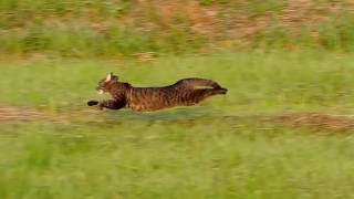 Download WORLDS FASTEST HOUSE CAT - Cats Running CUTE Video