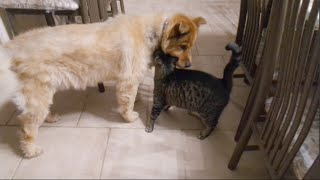 Download Cats Reaction to Being Reunited with Blind Dog Video