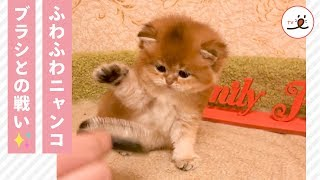 Download ぺちぺちと、ブラシに戦いを挑む仔猫がカワイイ ❤️【PECO TV】 Video