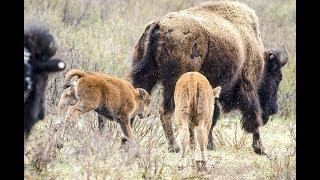 Download Banff National Park - bison calf historic first steps Video