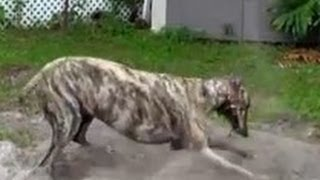 Download Happiest Greyhound in America - Dirty Dog - Too Cute - Crazy Dog - Greyhound Dog - Rescued Greyhound Video