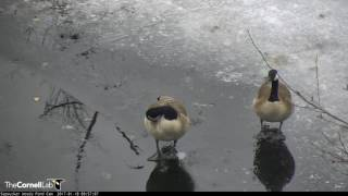 Download Close-up on a Pair of Canada Geese – Jan. 18, 2017 Video