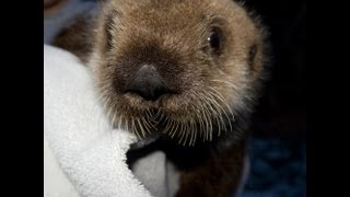 Download Rescued Baby Sea Otter's Long Day Video