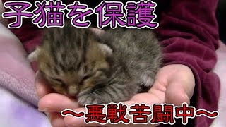 Download 【第1話】子猫を保護!生後1週間の子猫に悪戦苦闘(面白い&可愛い)~Growth of a kitten~ Video
