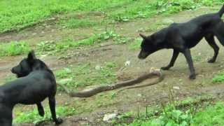 Download [台灣土狗]小龍與Money 鬥蛇紀錄 Formosan Mountain Dog fighting against Celastrus Video