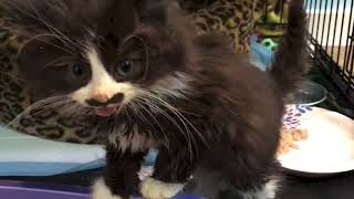 Download Feral Kitten Pistachio's First Week After Rescue Video