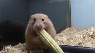 Download ヤングコーンを丸ごと詰め込むハムスター(Young corn hamster) Video