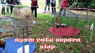 Download Pertandingan ayam ratu Kelantan 2017 ( kategori ayam ) Video