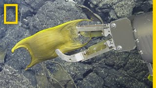 Download Rare Video: Deep-Sea Creature Incubates Eggs on Hydrothermal Vents | National Geographic Video