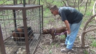 Download Vikky Pit Bull 15, Dog Meets Wild Hog, Finally! Video