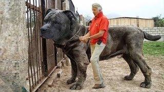 Download أضخم 5 كلاب حراسة في العالم، لن تصدق حجمها الحقيقي Video