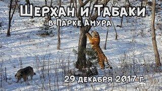Download ШЕРХАН И ТАБАКИ В ПАРКЕ АМУРА 29 декабря 2017 г. Video