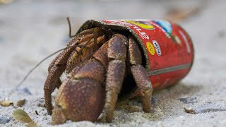 Download Crafty Hermit Crab Finds a New Home in a Food Tin | BBC Earth Video