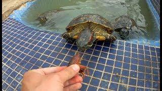 Download Rescate de cangrejos para dárselos de comer a mis tortugas! Video