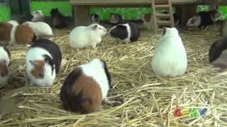 Download 기니피그 합창 ( Guinea Pig Chorus ) Video